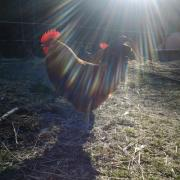 Roosters early in the morning