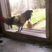 Roosters came to ask for breakfast