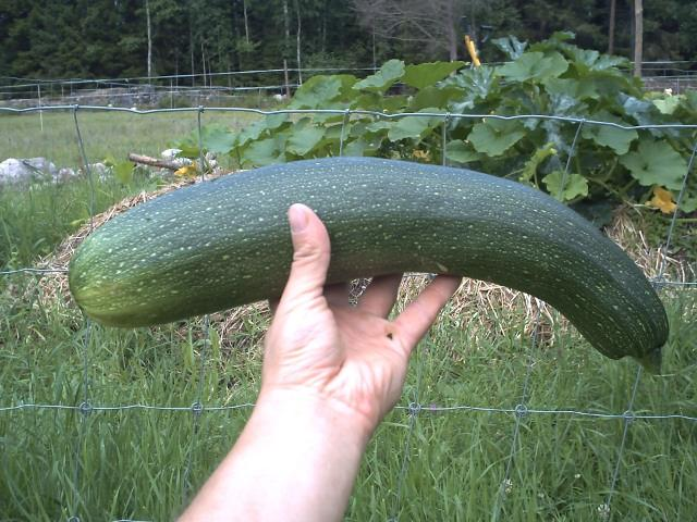 The first zucchini harvested for this summer