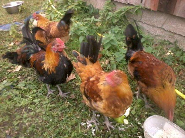 Roosters eating zucchini and barley
