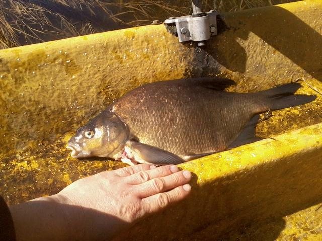 Caught a bream
