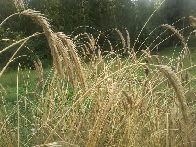 Rye raedy to be harvested