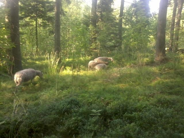 sheep in the woods