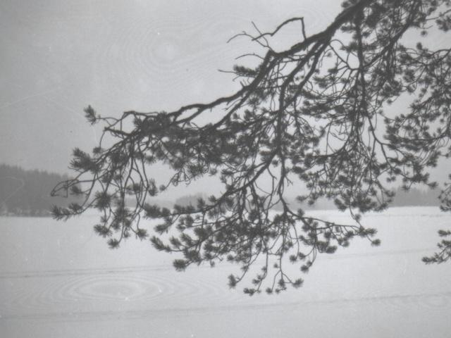 pine branches curving - a picture taken in the mid 1990's