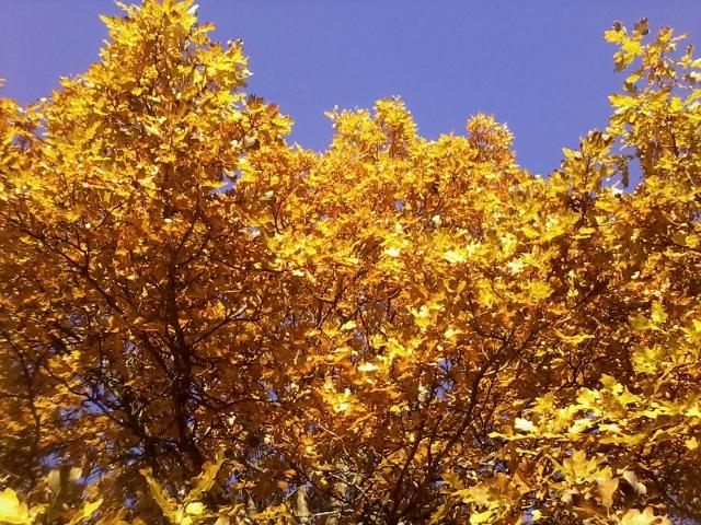 The oak with autumn colour