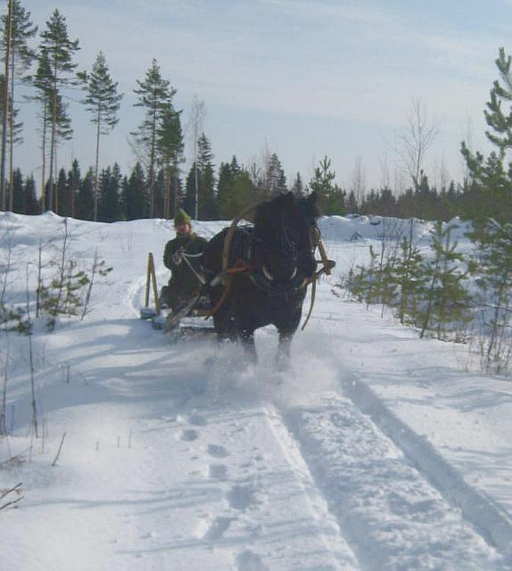 Velmu pulling a sleigh