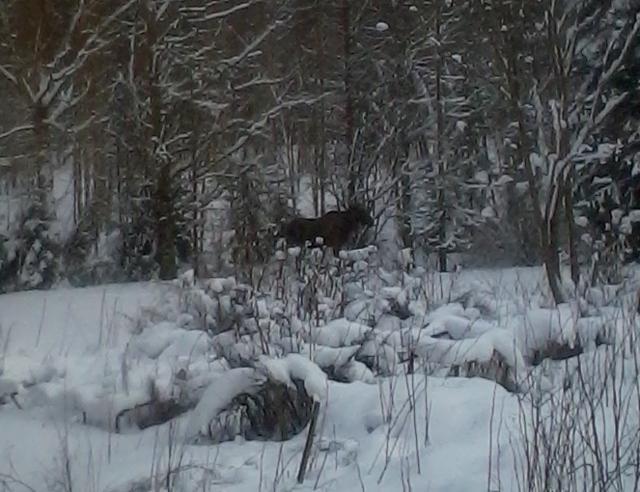 spot the elk