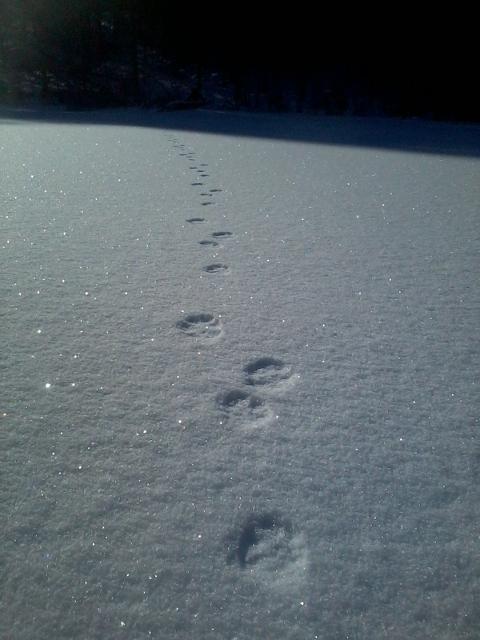 Hare tracks crossing the Takalahti bay