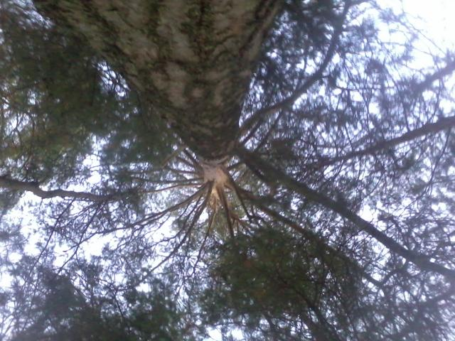... under a pine tree.