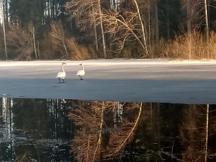 A couple of swans at my local lake. Just because I'd like to see them survive, too.